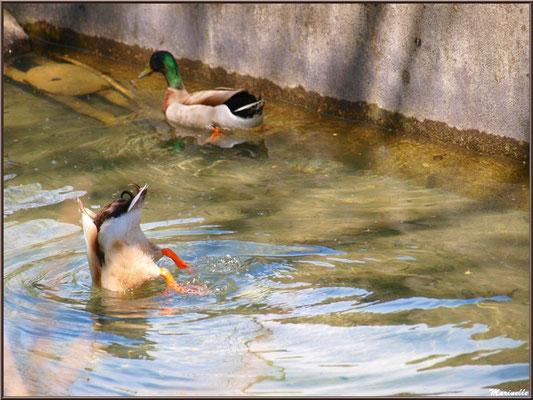 Canards au fil de l'eau d'un ruisseau à la Pisciculture des Sources à Laruns, Vallée d'Ossau (64)