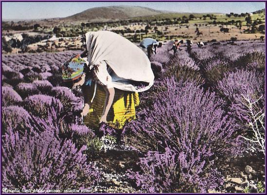 Coupeuse de lavande (carte postale ancienne, collection privée)