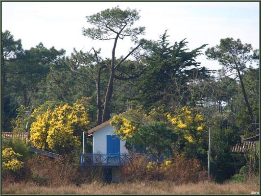 Maison bleue aux mimosas dans la conche à marée basse (Cap Ferret)