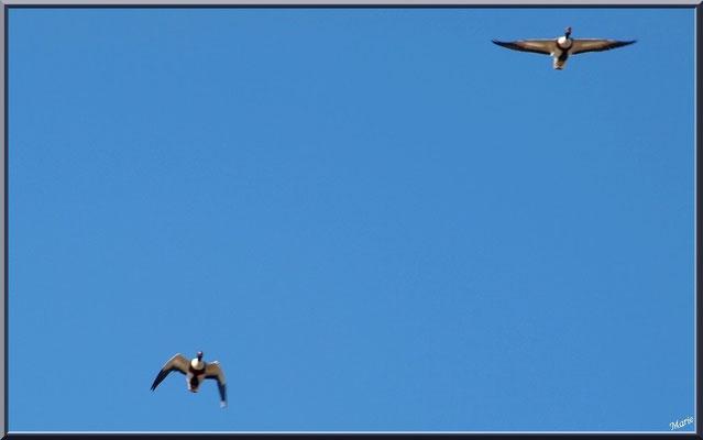 Canards en vol au-dessus du Sentier du Littoral, secteur Moulin de Cantarrane, Bassin d'Arcachon