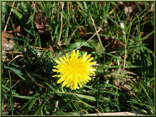 Pissenlit en fleurs, flore Bassin d'Arcachon (33)