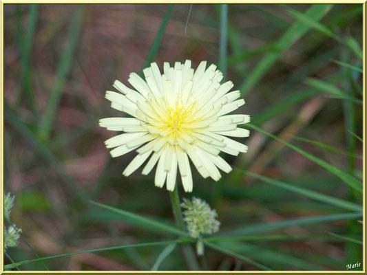 Fleur de Pissenlit et herbacées