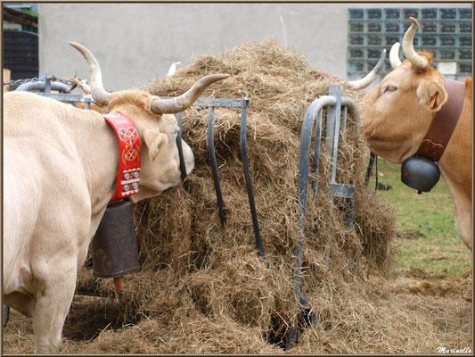 Belles vaches de la Vallée d'Ossau, Fête au Fromage, Hera deu Hromatge, à Laruns en Vallée d'Ossau (64)