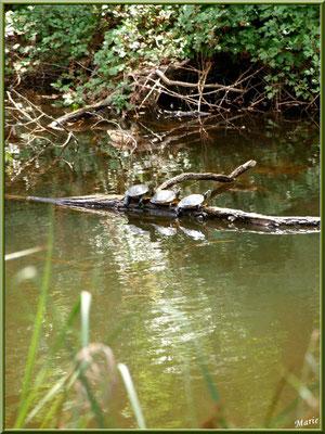 Tortues de Floride en trio sur une branche, Madame Canard et reflets sur le Canal des Landes au Parc de la Chêneraie à Gujan-Mestras (Bassin d'Arcachon)