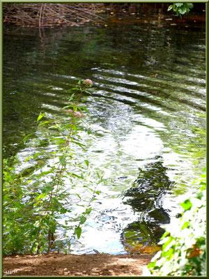 Eupatoire Chanvrine et reflets sur le Canal des Landes au Parc de la Chêneraie à Gujan-Mestras (Bassin d'Arcachon)