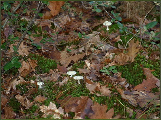 Amanites Citrine, en famille, en forêt sur le Bassin d'Arcachon
