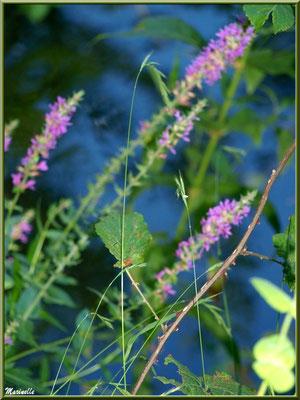 Flou sur Salicaire commune, flore sur le Bassin d'Arcachon (33)