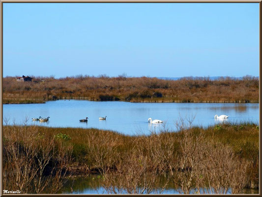Couple de cygnes et canards dans un réservoir sur le Sentier du Littoral, secteur Moulin de Cantarrane, Bassin d'Arcachon