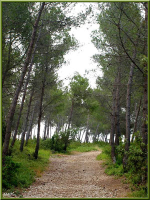 Sentier dans la pinède au massif de La Caume dans les Alpilles (Bouches du Rhône)