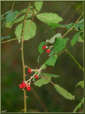 Branche de Mûres, fruits du Roncier, flore Bassin d'Arcachon (33)