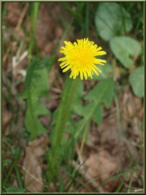 Pissenlit en fleur, flore Bassin d'Arcachon (33)