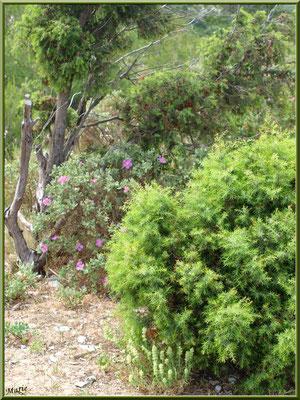 Cistes et végétation dans la garrigue des Alpilles (Bouche du Rhône)