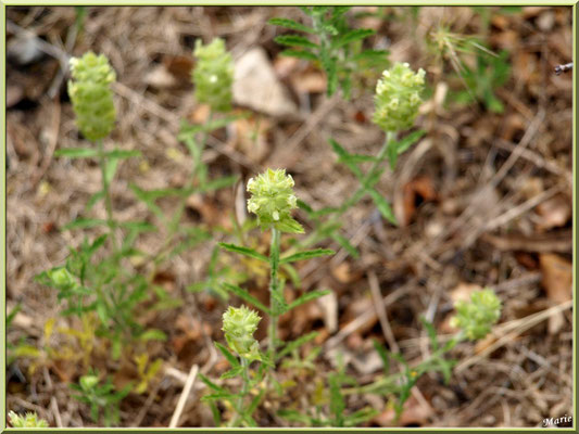 Fleurettes dans la garrigue des Alpilles (Bouche du Rhône)