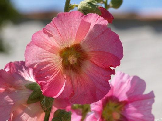 Roses trémières dans une ruelle à Talmont-sur-Gironde (Charente-Maritime)