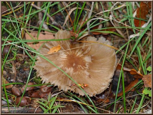 Amanite Fauve épanouie en forêt sur le Bassin d'Arcachon