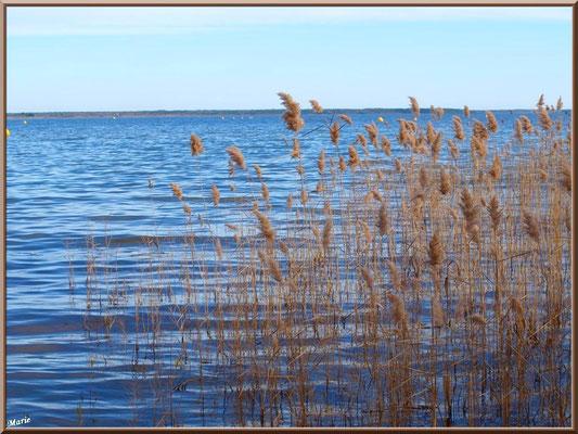 Roseaux en bord de rive du Lac de Cazaux (La Teste de Buch, Bassin d'Arcachon)