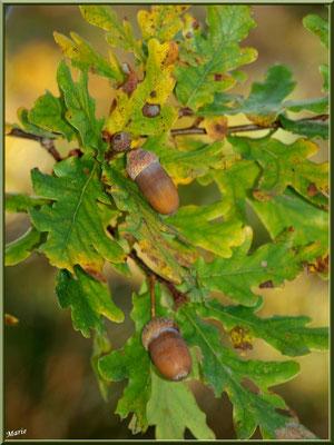 Glands de Chêne Pédonculé, flore Bassin d'Arcachon (33)