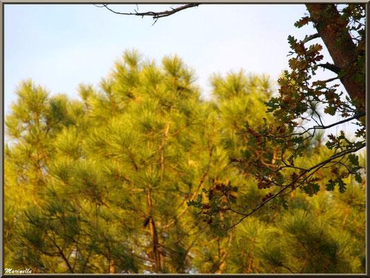 Méli mélo forestier : automne d'un chêne dans une forêt de pins, forêt sur le Bassin d'Arcachon (33)