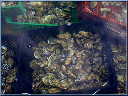Huîtres dans un réservoir du port ostréicole du Cap Ferret