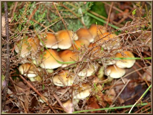Hypholomes en Touffe cachés derrière la bruyère en forêt sur le Bassin d'Arcachon