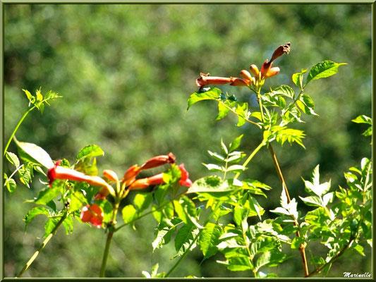 Bignone sauvage ou Trompette de Virginie ou Jasmin de Virginie, flore sur le Bassin d'Arcachon (33)