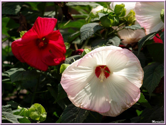 Hibiscus moscheutos (hibiscus géant)
