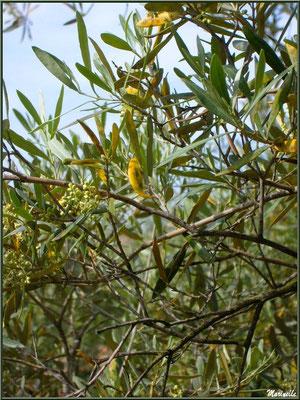 Olivier et ses olives naissantes, en début mai, dans les Alpilles (Bouches du Rhône)