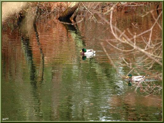 Canards Colvert et reflets au fil du Canal des Landes au Parc de la Chêneraie à Gujan-Mestras (Bassin d'Arcachon)