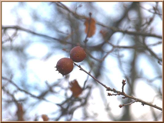 Boules de chêne au Parc de la Chêneraie à Gujan-Mestras (Bassin d'Arcachon)