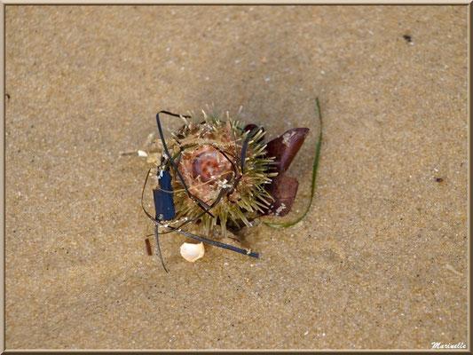 Oursin sur la plage Péreire à Arcachon, Bassin d'Arcachon (33)