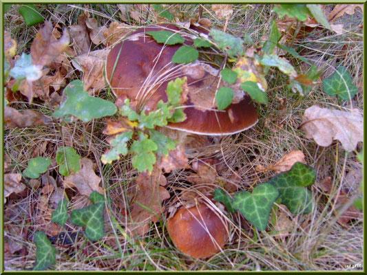 Cèpes de Bordeaux ou Bolets en forêt sur le Bassin d'Arcachon