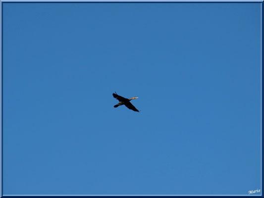 Cormoran en vol au-dessus du Sentier du Littoral, secteur Moulin de Cantarrane, Bassin d'Arcachon