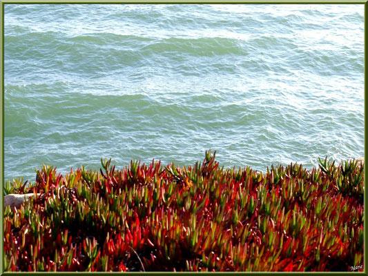 """Lampranthus sur la digue """"Bartherotte"""" au pied du Bassin d'Arcachon (Cap Ferret)"""