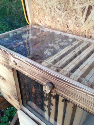 Kuntzsch Hoch Rähmchen in einer Bienenhaus Beute