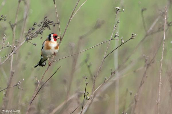 Stieglitz, Jungvogel (Carduelis carduelis)