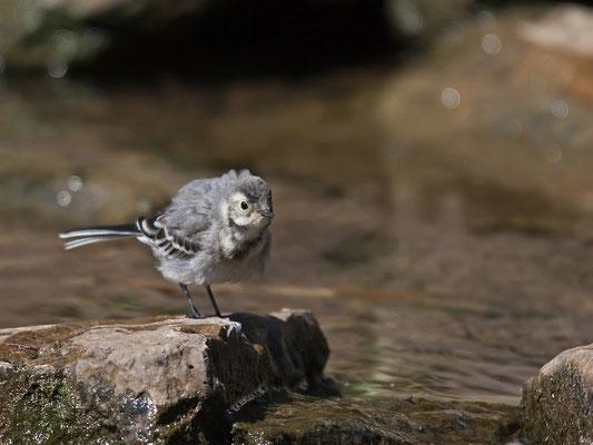 Junge Bachstelze (Motacilla alba)