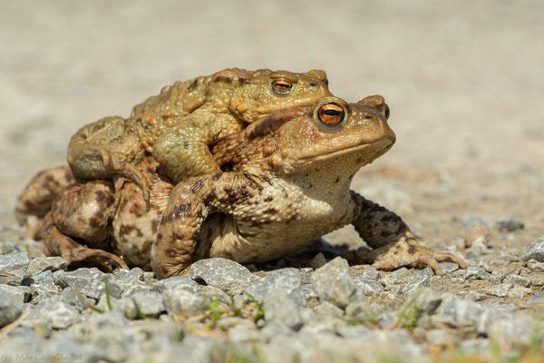 Erdkrötenpärchen (Bufo bufo)