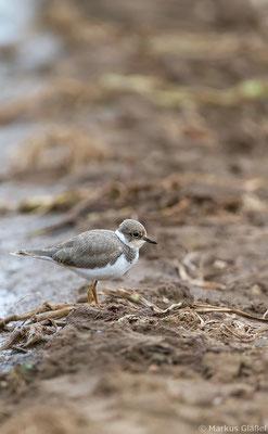 Flussregenpfeifer, juvenil (Charadrius dubius)