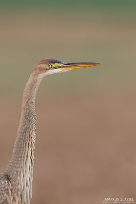 Immaturer Purpurreiher (Ardea purpurea)