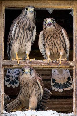 Turmfalken, juv. (Falco tinnunculus)