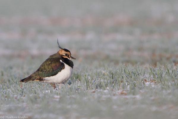 Kiebitz (Vanellus vanellus) - Rast während Wintereinbruchs