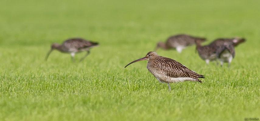 Großer Brachvogel (Texel / NL)