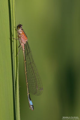 Große Pechlibelle (Ischnura elegans) C-Typ