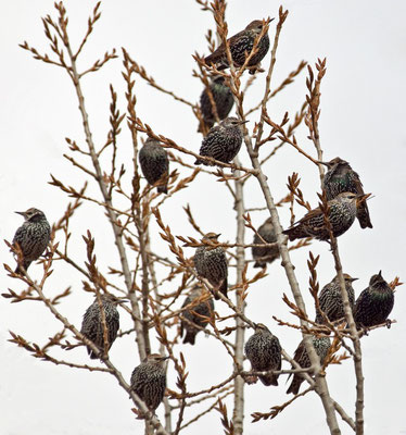 Stare in Schlafbaum (Sturnus vulgaris)