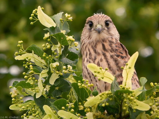 Turmfalke, juv. (Falco tinnunculus)