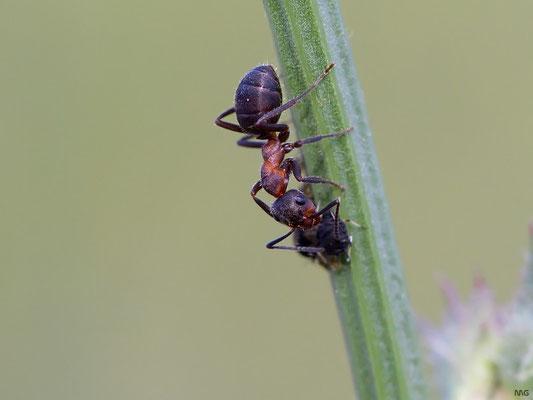 Ameise beim Blattlausmelken