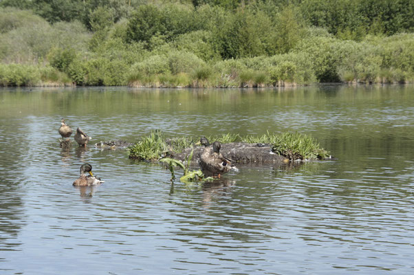 Ces canard en liberté ne semblent paas avoir à craindre les chasseurs !