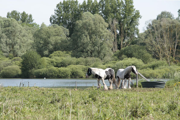 Ces chevaux constituent d'efficaces tondeuses naturelles et arémentent en outre le paysage.