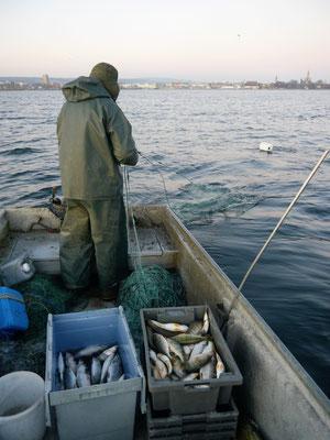 Der Fang des Tages. Wenig im Vergleich zu früher. Seit zehn Jahren gehen die Fischbestände dramatisch zurück. Im Hintergrund Konstanz mit dem Münster.