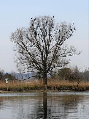 Kormorane bei der Rast im Seerhein.